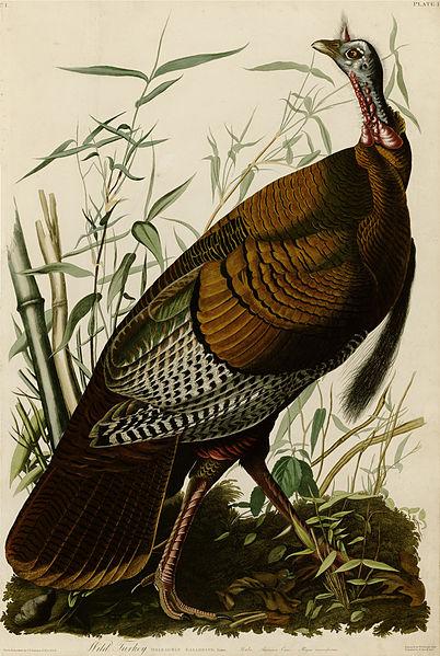 402px-1_Wild_Turkey